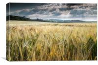Field of Golden Barley, Canvas Print