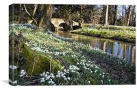 Snowdrops at Walsingham Abbey, Canvas Print