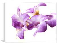Orchid Dendrobium, Canvas Print