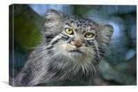 Tula the Pallas Cat