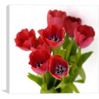 Red tulips on white, Canvas Print