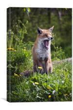 Fox Yawning, Canvas Print