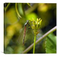 Red Damsel Fly, Canvas Print