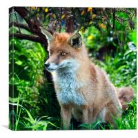 Frodo - The Red Fox, Canvas Print