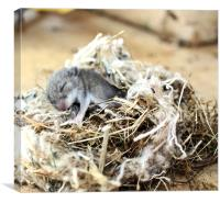 Baby sleeping mouse, Canvas Print