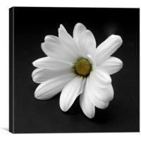 White Chrysanthmum, Canvas Print