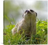 Compare the Meerkat, Canvas Print