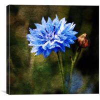 Cornflower Blues, Canvas Print