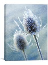 Wintery Teasles, Canvas Print
