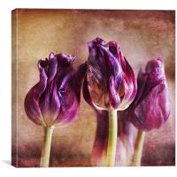 Fading Tulips, Canvas Print