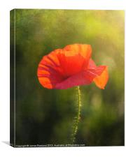 Poppy in the field, Canvas Print