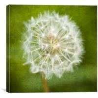 Sparkling Dandelion, Canvas Print
