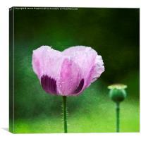 Garden Poppy, Canvas Print