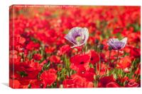 Purple & Red Poppies, Canvas Print