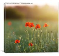 Poppy Evening, Canvas Print