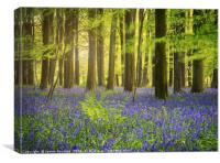 The Bluebell Woods , Canvas Print