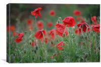 morning poppies, Canvas Print