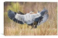 Two Herons fighting for the patch, Canvas Print