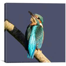 Young Kingfisher looking up at the sky, Canvas Print