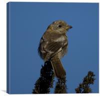 woodchat shrike, Canvas Print