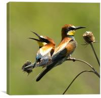 bee-eaters, Canvas Print