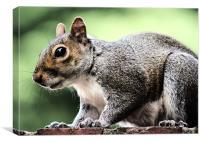 Squirrel feeding, Canvas Print