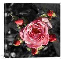 Rose and buds colour Selective blur, Canvas Print