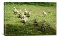 Young Canadian Gosling 1, Canvas Print