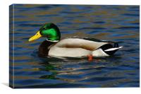 Mallard Duck Side View, Canvas Print