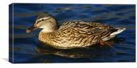 Mallard Duck Side looking, Canvas Print