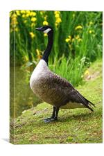 Canadian Goose Painting, Canvas Print