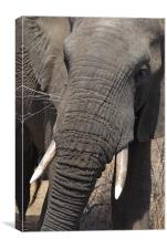 African Elephant E