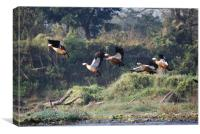 Ruddy Shelducks D, Canvas Print