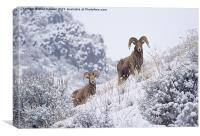 Pair of Winter Rams, Canvas Print