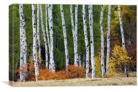 Autumn Aspens, Canvas Print