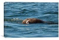 Sea Lion Meal, Canvas Print