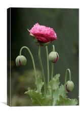 Pink Poppies, Canvas Print