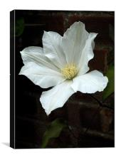 white clematis, Canvas Print