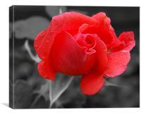 Garden Rose B&W Background