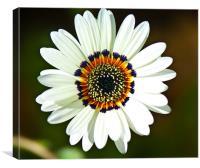 Floating daisy, Canvas Print