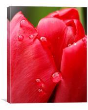 Tulip drops, Canvas Print