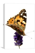 butterfly and lavender, Canvas Print