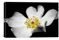 dog rose, Canvas Print