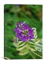 Purple Varigated Hebe