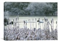 Winter swans on frozen lake