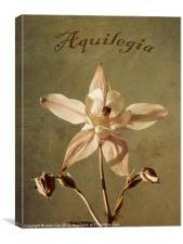 Aquilegia too., Canvas Print