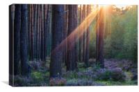 Pine forest at sunset, Canvas Print