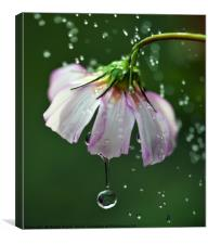 Cosmos flower with water droplets