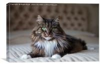 Long haired cat , Canvas Print