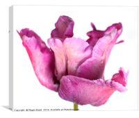 Purple parrot tulip, Canvas Print